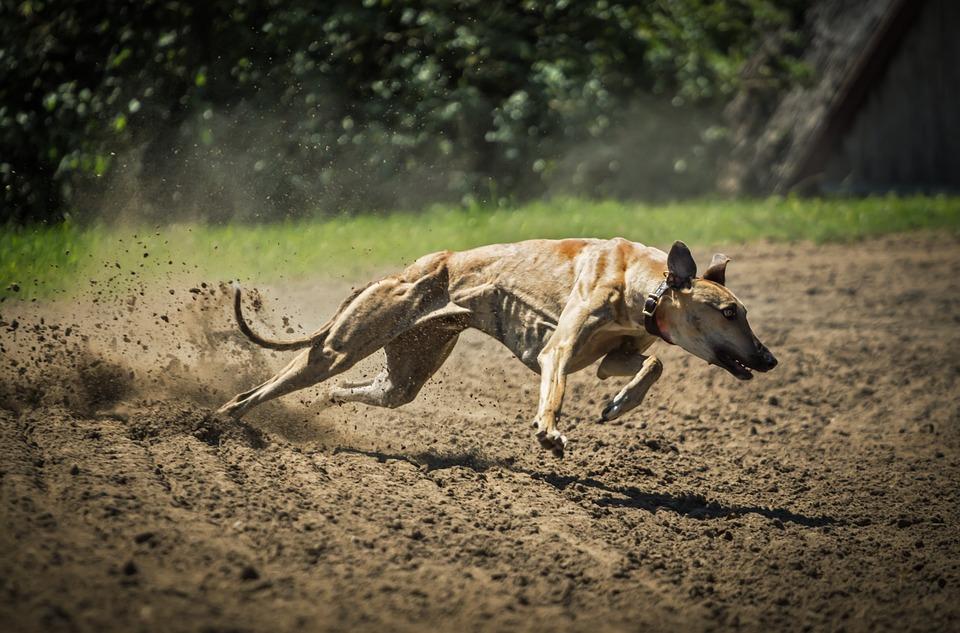 Ladbrokes Coral Volunteers for Extra Greyhound Tax