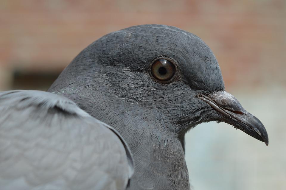 Is Pigeon Worth Worrying About? – Nick Garner Breaks it Down