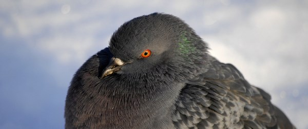 The Pigeon Update and Its Impact on Businesses